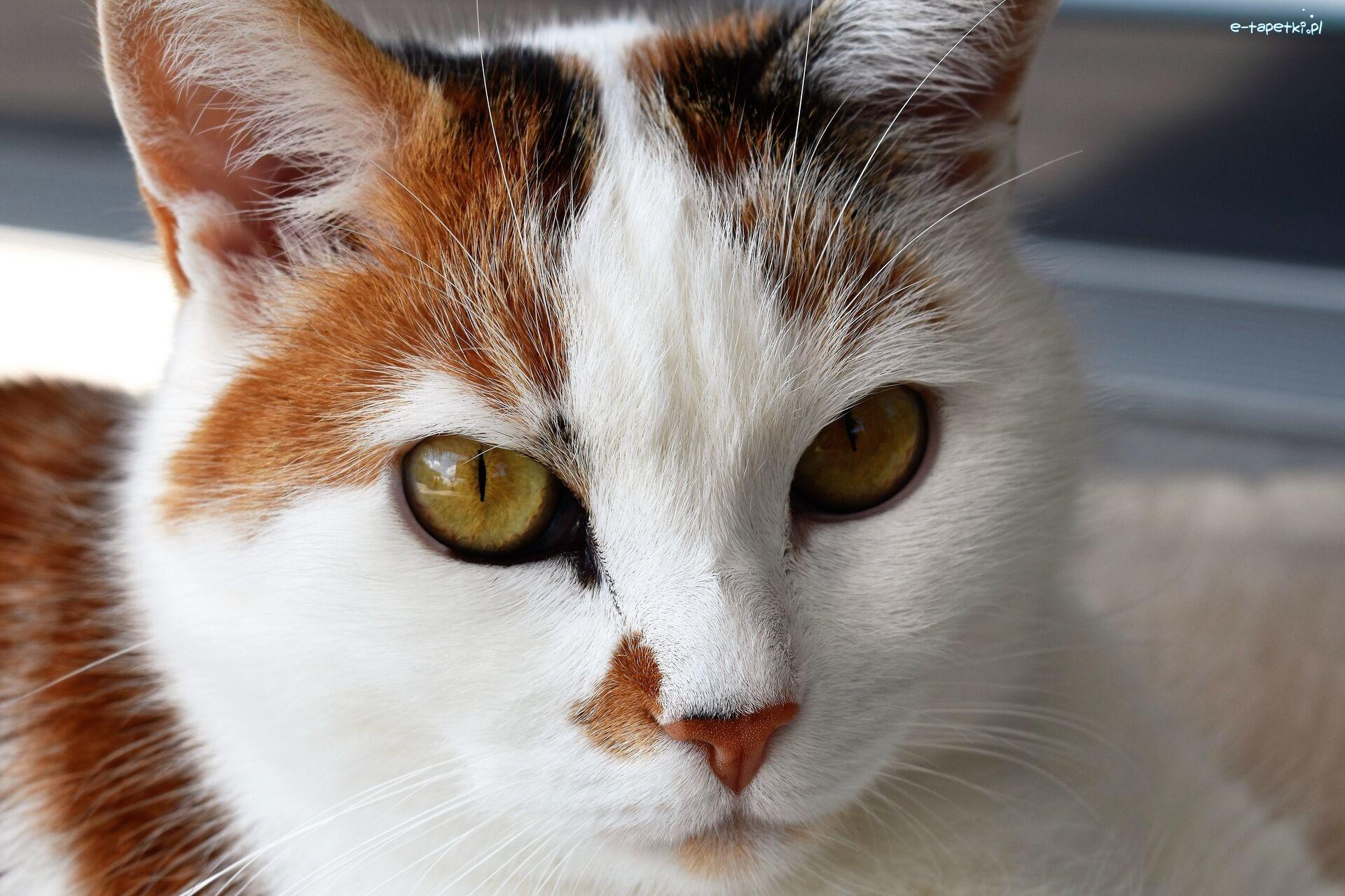 Biało Rudy Kot