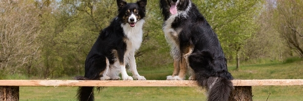 Dwa, Psy, Border collie